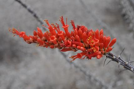 59735-trip12.ocotillo.jpg
