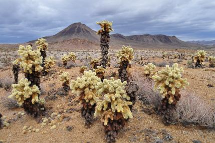 59744-trip24.cindercone.cholla.jpg